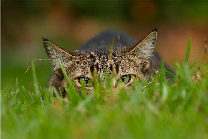 Кот на охоте барсука